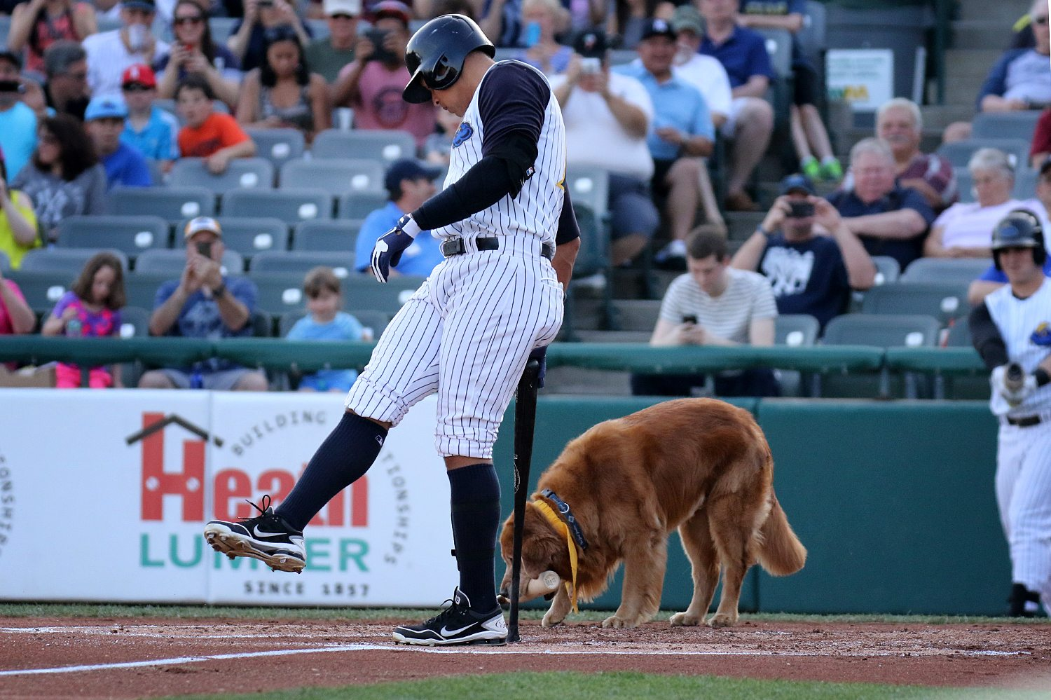 New York Yankees slugger Alex Rodriguez prepares to bat in the first inning as Bat Dog Derby does his work at ARM & HAMMER Park in Trenton on Wednesday, May 25, 2016 during a game against the New Hampshire Fisher Cats. Rodriguez joined the Double A Yankee farm team for a second day as part of a rehab assignment. Photo by Martin Griff